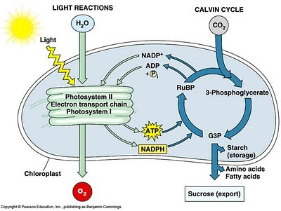 Chloroplast photosynthesis diagram unlabeled wiring diagram for chloroplast photosynthesis diagram unlabeled images gallery ccuart Gallery