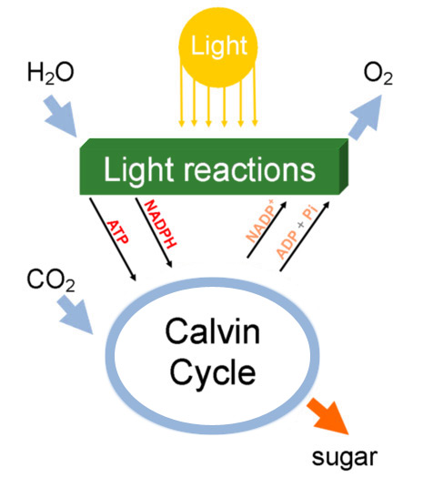 simplified diagram of photosynthesis